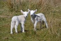ardnacross-lambs